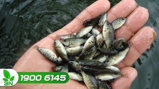 """Diệt """"sạch bách"""" cá rô phi cỏ mà không ảnh hưởng đến các loại cá khác"""