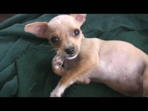 Chihuahua Puppies Quiet Time (in HD)
