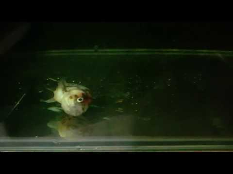 MAS KOKI RANCHU SAKIT! RANCHU SWIM BLADDER PROBLEM!