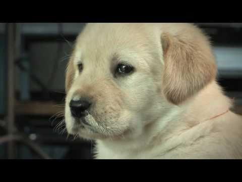 Cute Labrador Puppies
