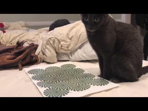 大膽貓奴「給貓皇看視覺錯覺照」,貓皇「這種反應」讓他忍不住偷笑!