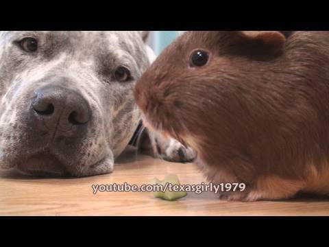 Pitbullpuppies Youtube on The Pit Bull And The Guinea Pig   Cute Videos   The Daily Cute