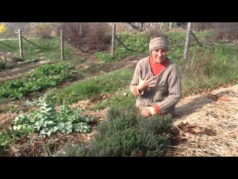thyme - Join Deb this week on the hillside gardens with a hedgerow of Thyme. She discusses medicinal uses, planting and harvesting.
