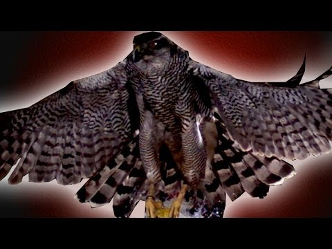 motion - Using incredible high speed camera work the team reveal how a Goshawk attacks it's prey during mid flight. Subscribe to Earth Unplugged - http://www.youtube....