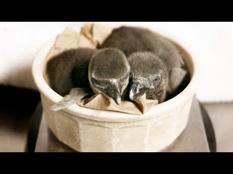 WATCH: Baby Penguin Siblings Meet For The First Time