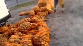 Typowy Janusz i typowa Grażyna, rozjeżdżają ziemniaki należące do konkurencji…