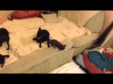 very small chihuahua in her family, first jump from sofa