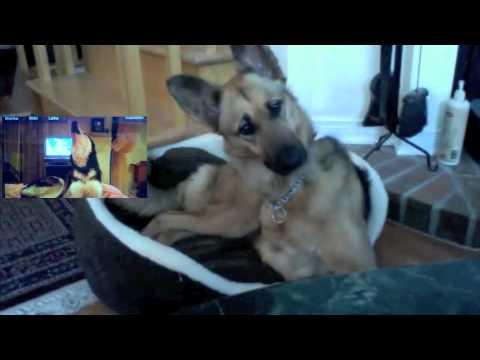 狼犬跟哈士奇視訊影片!笑翻百萬網友!