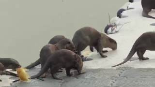 Video Singapore Wildlife - Smooth Coated Otters (28/08/2016) MP3, 3GP, MP4, WEBM, AVI, FLV September 2017