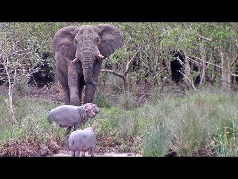 Слон показал, кто хозяин...