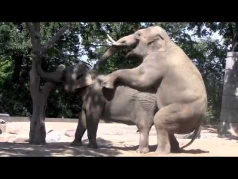 Video elephant's sex download in MP3, 3GP, MP4, WEBM, AVI, FLV January 2017