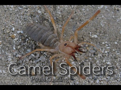 The Truth About Camel Spiders
