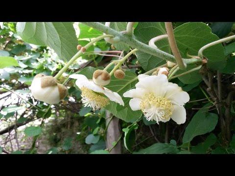 actinidia chinensis - caratteristiche