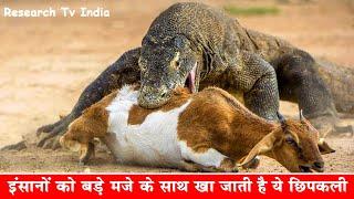 Video अगर इसने काट लिया तो भगवान भी नहीं बचा सकते| Largest Lizard on Earth - The Komodo Dragon|Facts about MP3, 3GP, MP4, WEBM, AVI, FLV Maret 2018