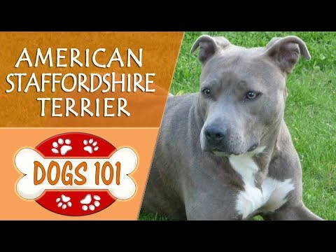 Dogs 101 - AMERICAN STAFFORDSHIRE TERRIER - Top Dog Facts About the AMERICAN STAFFORDSHIRE TERRIER