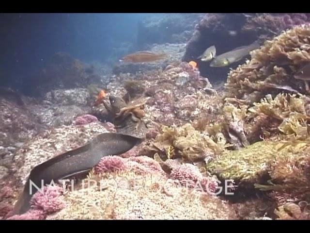 Octopus Rides Moray Eel!