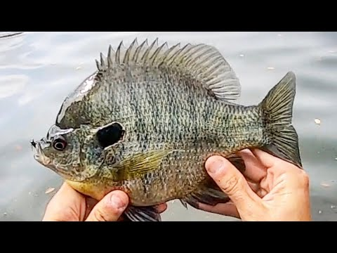 Fishing for DINNER PLATE BLUEGILL and REDEAR!!