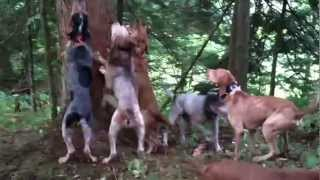 Video Bear Hunting with Hounds MP3, 3GP, MP4, WEBM, AVI, FLV Mei 2017