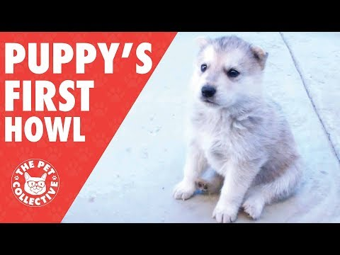 Adorable Puppies and Their First Howls