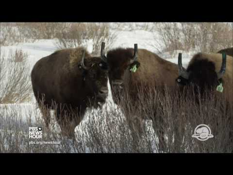 How scientists brought bison back to Banff