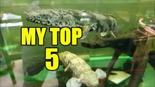 My current Top 5 Aquarium Fish! by Rachel O'Leary