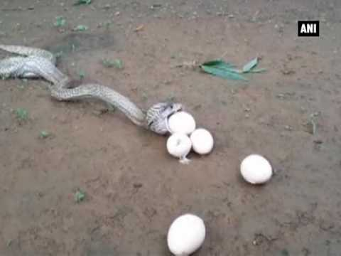 Watch: Cobra Throws Up 6 Eggs After Swallowing 7 - ANI News