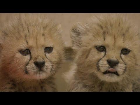 """San Diego/USA: Geparden-Nachwuchs im """"San Diego Saf ..."""