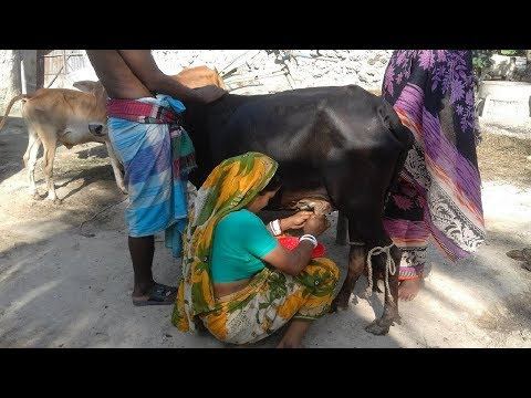 Video How to milking by hand | Cow milking by women | Village style milking download in MP3, 3GP, MP4, WEBM, AVI, FLV January 2017