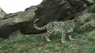 Watch rare footage of wild snow leopards in Kyrgyzstan leaving their marks on a 'signpost' rock.