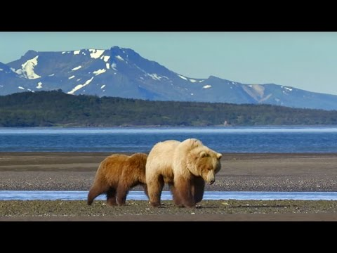 Grizzly Bear Hunts For Clams | Wild Alaska | Bbc Earth