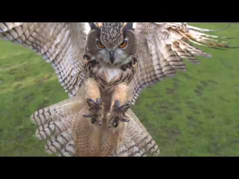 Eagle owl in flight high speed camera AMAZING slow  motion camera