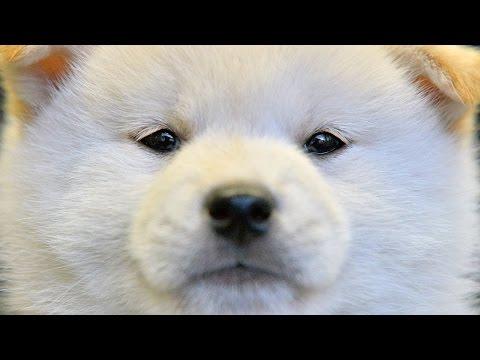 白い柴犬が誕生 兵庫県猪名川町