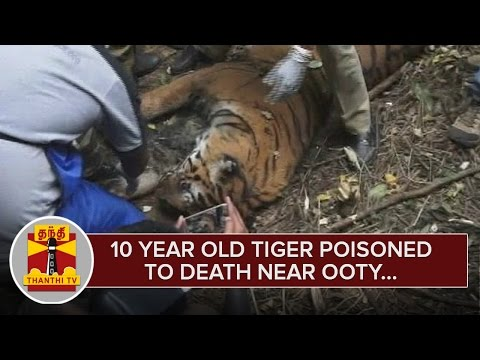 10-Year-Old-Tiger-Poisoned-to-Death-near-Ooty--Thanthi-TV