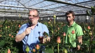 #600 Schnittrosenproduktion in der Schweiz