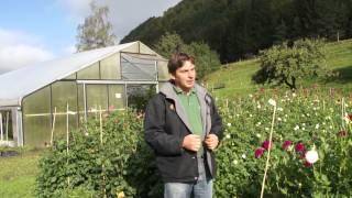 #807 Dahlienzüchtung - Züchtungsfeld und Sortenvielfalt