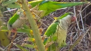 Seabrook (TX) United States  city images : Monk Parakeets Seabrook Texas