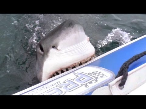 Great - Why does a rubber inflatable boat sink in the ocean? Because a Great White Shark has just taken a Chunk out of it! The attack took place off the coast of Mos...
