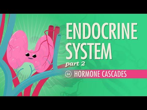 Endocrine System, Part 2 - Hormone Cascades: Crash Course A&P #24