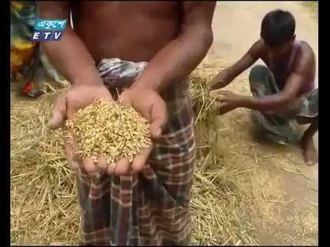 শেরপুরের সীমান্তবর্তী গারো পাহাড়ের পাদদেশে 'মুড়িধান' কাটার উৎসব চলছে