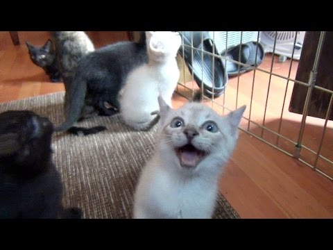 Squeaky Kittens Meow for Breakfast as Soon as They See Their Foster Dad