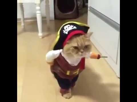 VIRAL FUNNY  cat WALKING in pirate costume (VIDEO)