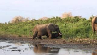 Rufiji Tanzania  city photos : Elephants crossing the Rufiji river, Selous Game Reserve, Tanzania
