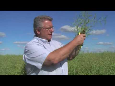 swathing - Jim Bessel with the Canola Council of Canada explains how to use seed colour change as a guide to when to start swathing.