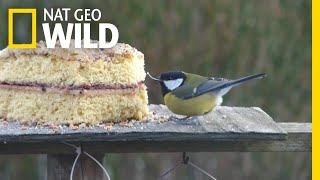 A Missing Upper Beak Doesn't Stop This Little Bird From Eating Cake | Nat Geo Wild by Nat Geo WILD
