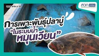 การเพาะพันธุ์ปลาบู่ในระบบน้ำหมุนเวียน