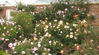 #121 Die Verwendung Englischer Rosen