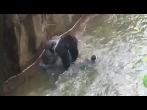 Gorilla drags 3-year-old in shocking video