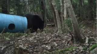 Video Maine Black Bear Hunt MP3, 3GP, MP4, WEBM, AVI, FLV Agustus 2017