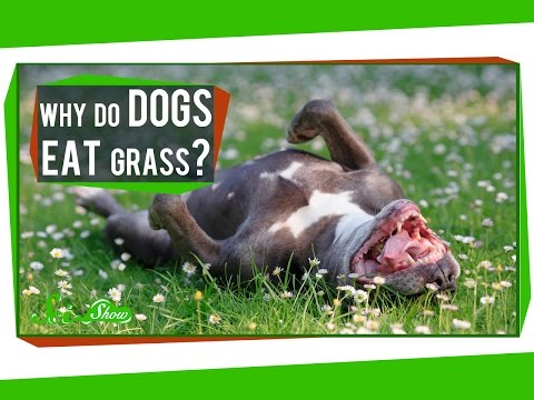 Why Do Dogs Eat Grass?