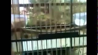 Kicau Ciblek Juara Nasional Ngerol Di akhir Video